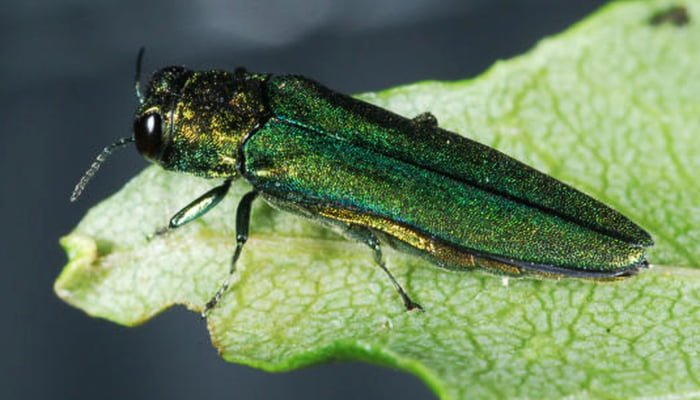 Poughkeepsie Takes Action Against Emerald Ash Borer
