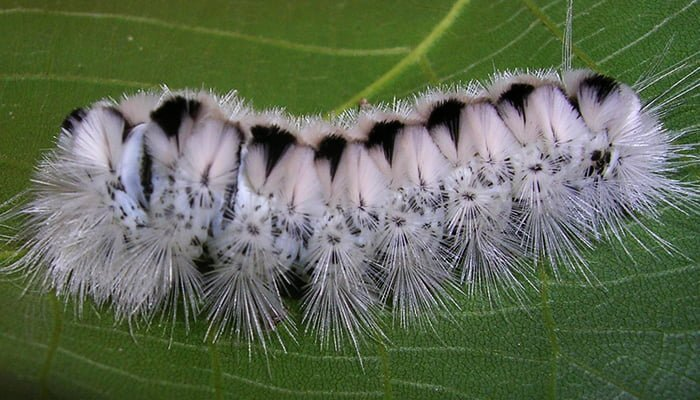 Have you seen a black and white caterpillar in your yard?