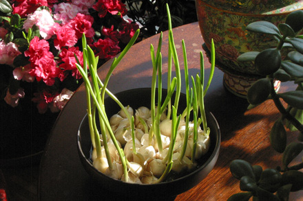 Garlic Shoots at Window