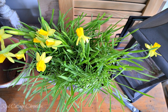 DIY Spring Planter with Mini Daffodils