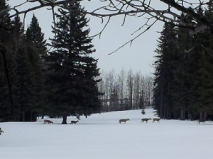 Winder deer out for a stroll