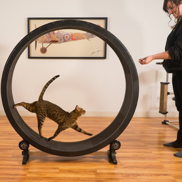 Cat Exercise Wheel – keep your cat healthy with this super sized hamster wheel