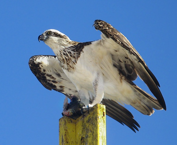 Return of the Ospreys – the reduction of pesticides brings this bird back from the brink