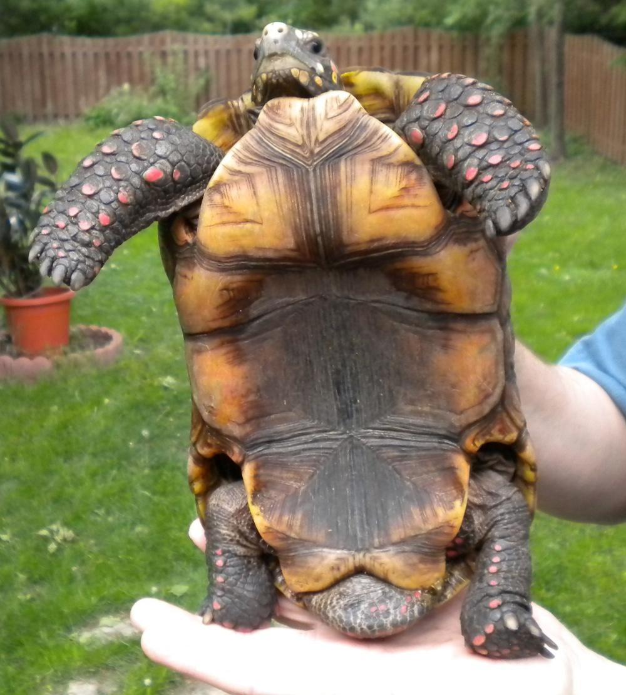 redfoot tortoise breeding happens
