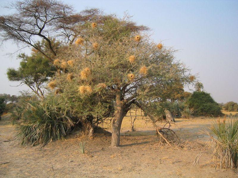 pohon gum arabic sudan