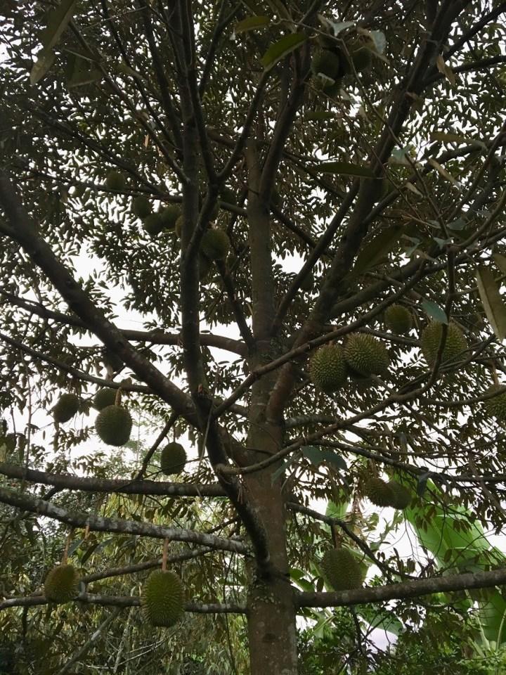 Kebun Durian di Purwokerto
