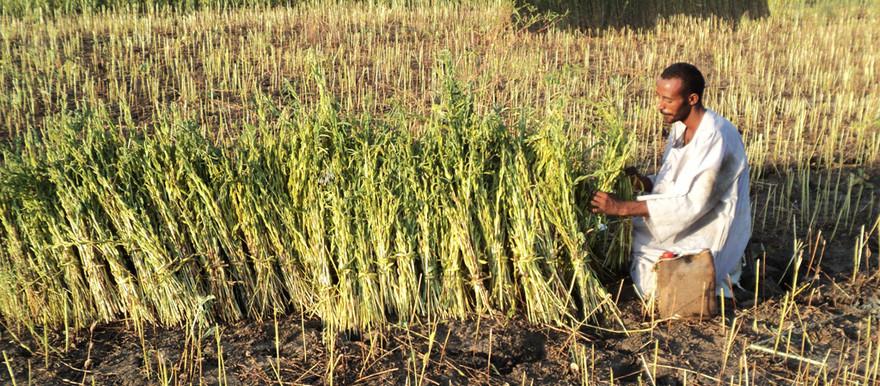 Orang Sudan mengikat hasil panen