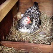 Egg Production in Hens