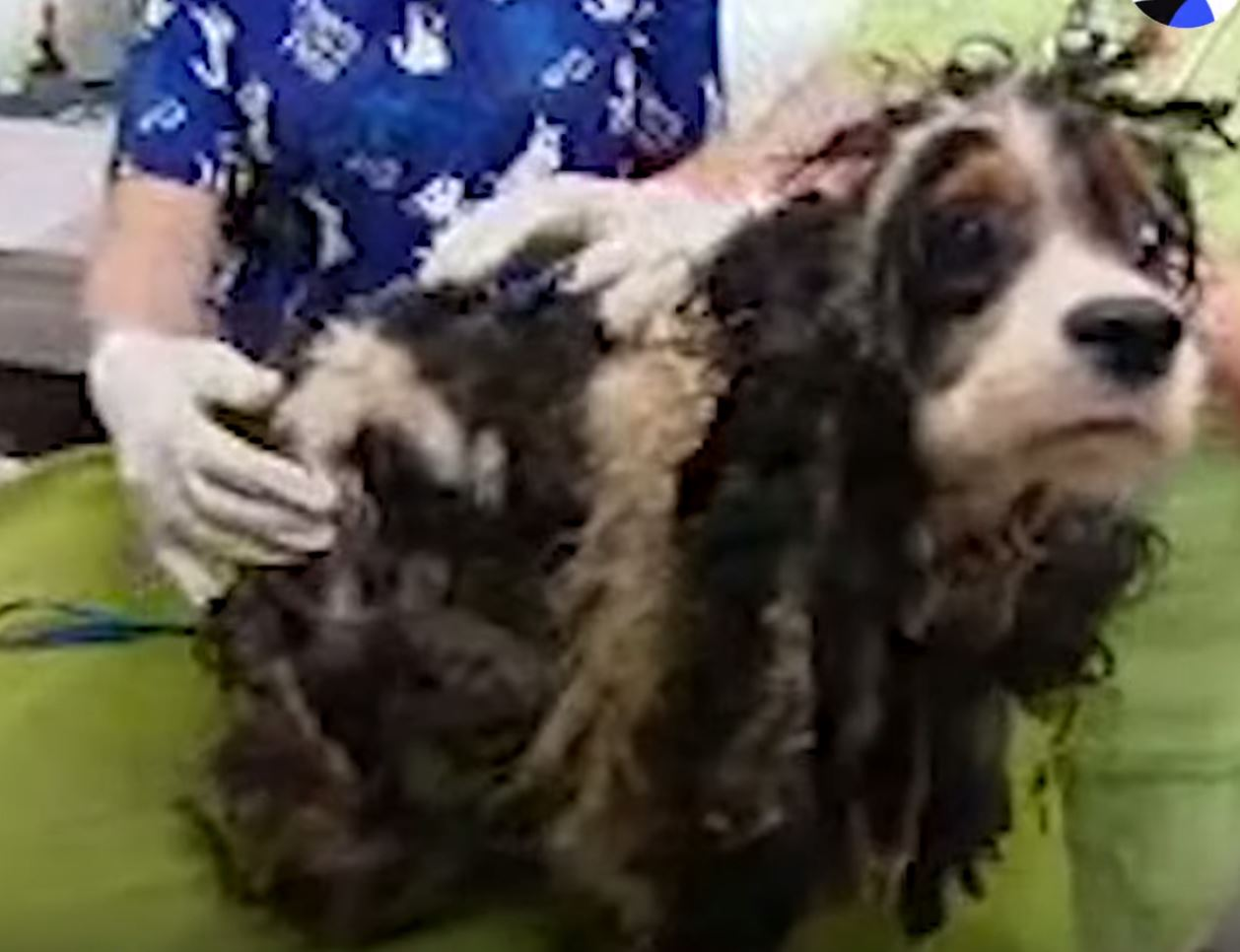 Vets Remove Matted Hair From Neglected Dog, See What They Find Underneath!