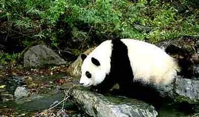Bamboo Shortage Threatens Pandas in China