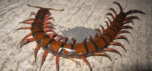 Amazonian Giant Centipede, Scolopendra gigantean