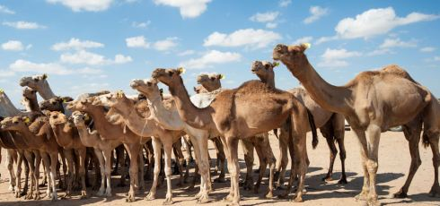 More Coronavirus Detected In Camels, Humans In Middle East