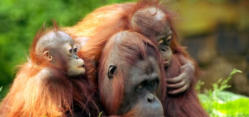 Scientists Urge Greater Efforts To Protect Orangutan Forests