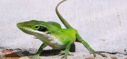 """Discovery Of Genetic Secret """"Recipe"""" For How Lizards Regrow Their Tails Could Help Human Recovery"""