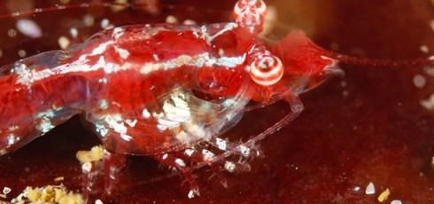 Stargazer Shrimp Discovered In South African Waters
