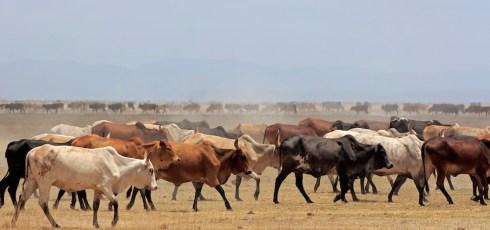 Can smartphones help Kenyan cattle herders?