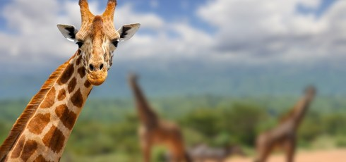 Giraffes face the threat of 'silent extinction' as populations dip