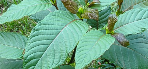 Is Kratom an Effective Fibromyalgia Treatment?