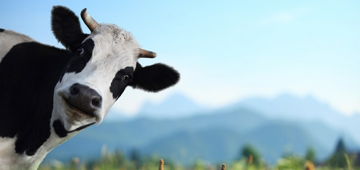 Cow Sound  Free Ringtone DOwnloads  Animal Ringtones