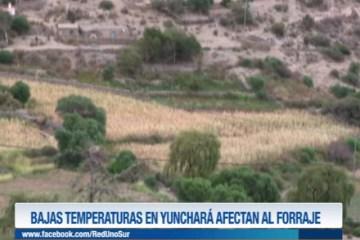 BAJAS TEMPERATURAS EN YUNCHARÁ AFECTAN AL FORRAJE