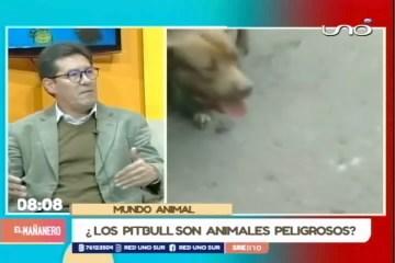 ¿LOS PITBULL SON ANIMALES VIOLENTOS?