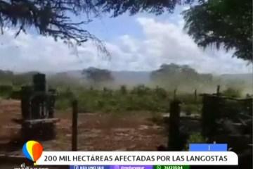 200 MIL HECTÁREAS AFECTADAS POR LAS LANGOSTAS