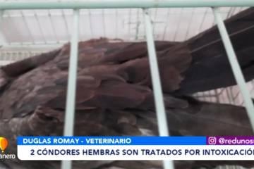 2 CÓNDORES HEMBRAS SON TRATADOS POR INTOXICACIÓN