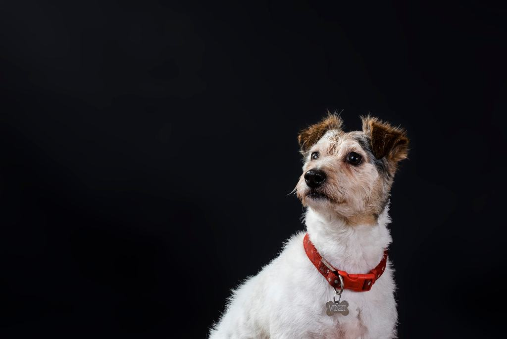 Ipswich Dog Portrait photography