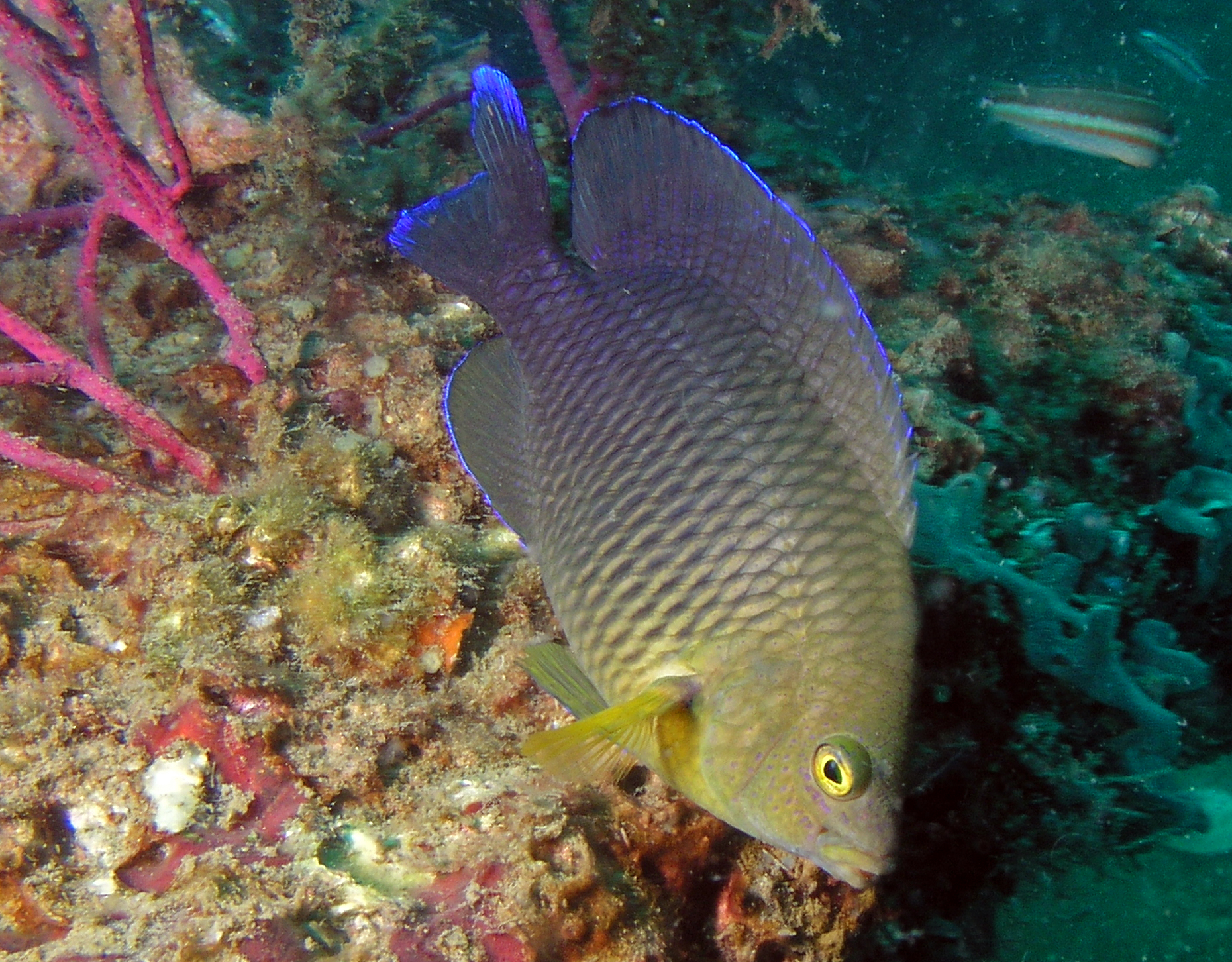 Damselfish with flourescent blue margins  Reef