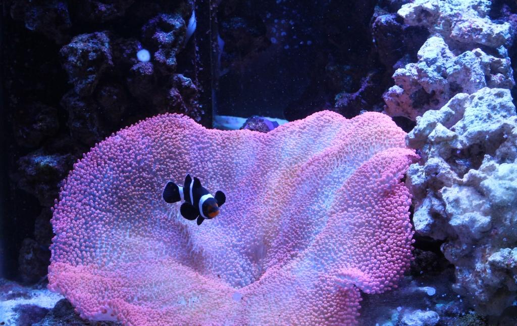 keeping anemones reef aquarium