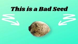 A bad cannabis seed