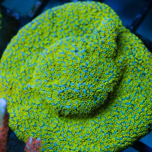 Fruity Pebbles Montipora