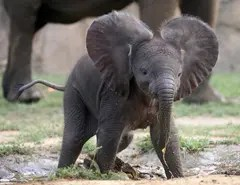 It is rumored that like kids, baby elephants do not like brushing their teeth either