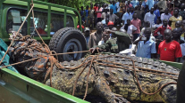 The 2,200 pound crocodile was loaded aboard a flatbed truck for transport to a national wildlife park.