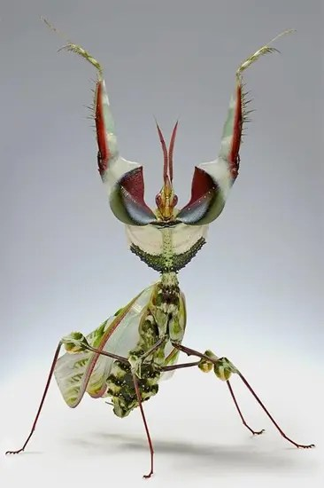 The Devil's Flower Mantis tries to look like a flower to lure prey to it.