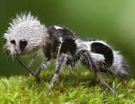 Panda ant is not really an ant. It's a wingless wasp.