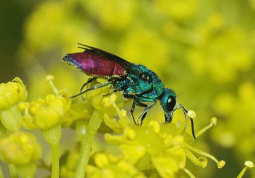 Cuckoo Wasps are also called Jewel Wasp, Gold Wasp, and Emerald Wasp.