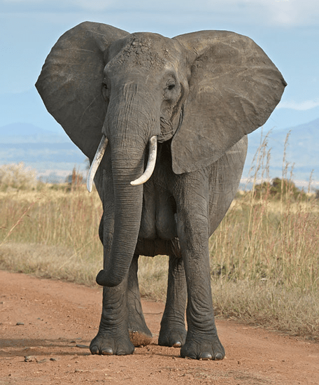 African elephant pondering whether he should stike a cute pose or run over and step on the photographer