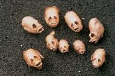 Snapdragon flower seed pods have a variety of human-faces