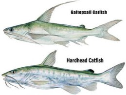 hardhead and gafftopsail catfish