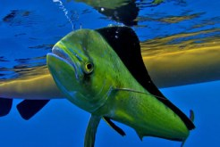 how to catch mahi mahi in a kayak 6