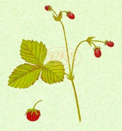 Metsmaasikas ja muulukas