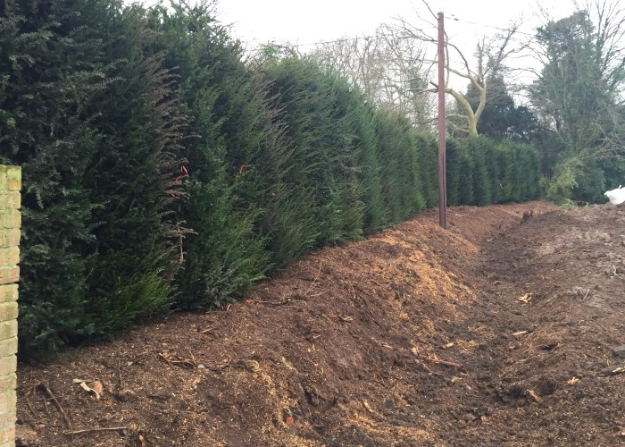 planting a yew hedge