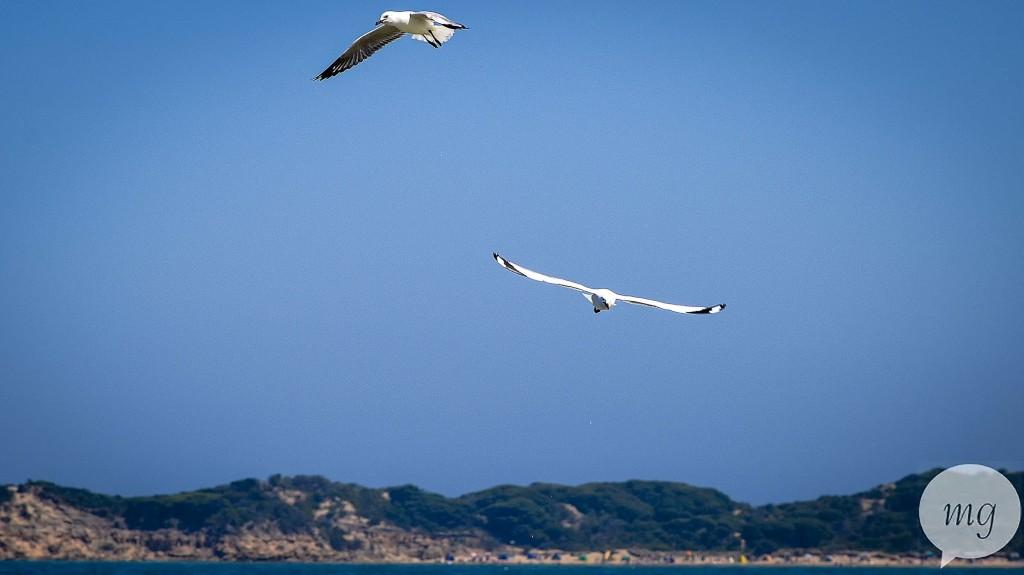 Flying_seagulls_DSC_0932