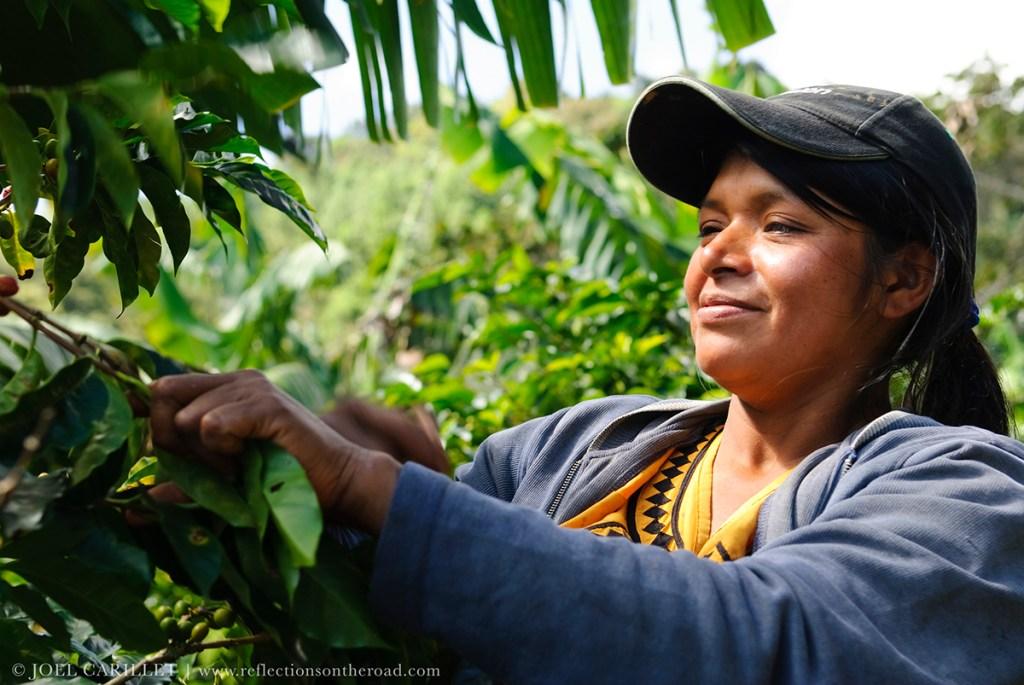 Boquete Panama coffee harvest