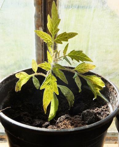 Tomatplanten spirer