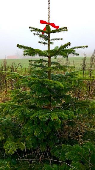 Juletræet skal fældes