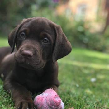chocolate brown labrador