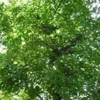 Haselbäume werden wegen ihres schlanken Wuchses gern in Großstädten gepflanzt. Die Nüsse sind essbar.