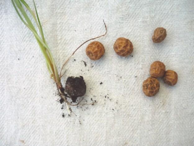 Keimfähiges Erdmandel-Saatgut gibt es zuhauf. Meines stammt von dem Hersteller Erdmarie. Im Besitz eines Südbalkons trieben die Knöllchen auch irgendwann aus. Geerntet habe ich noch nicht. Laut »Survival-Gärtner« soll das nicht ganz einfach sein.